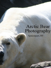 Arctic Bear Photography