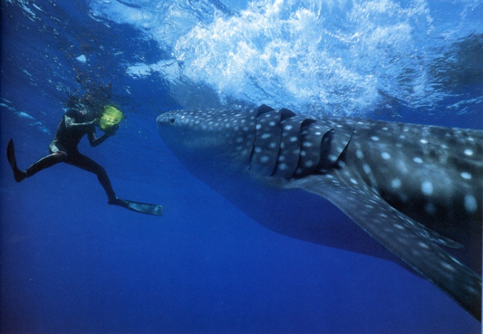 Heron Island, Australia Apr 27, 2006 1992 A once in a lifetime encounter! Whale Sharks can reach up to 40 in length and weigh 15 tons. This guy was about 18.