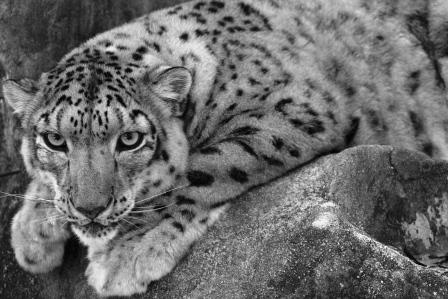 BCR Tampa, Fl. Nov 23, 2006 www.bcprints.com Snow Leopard To help them...(www.snowleopard.org)