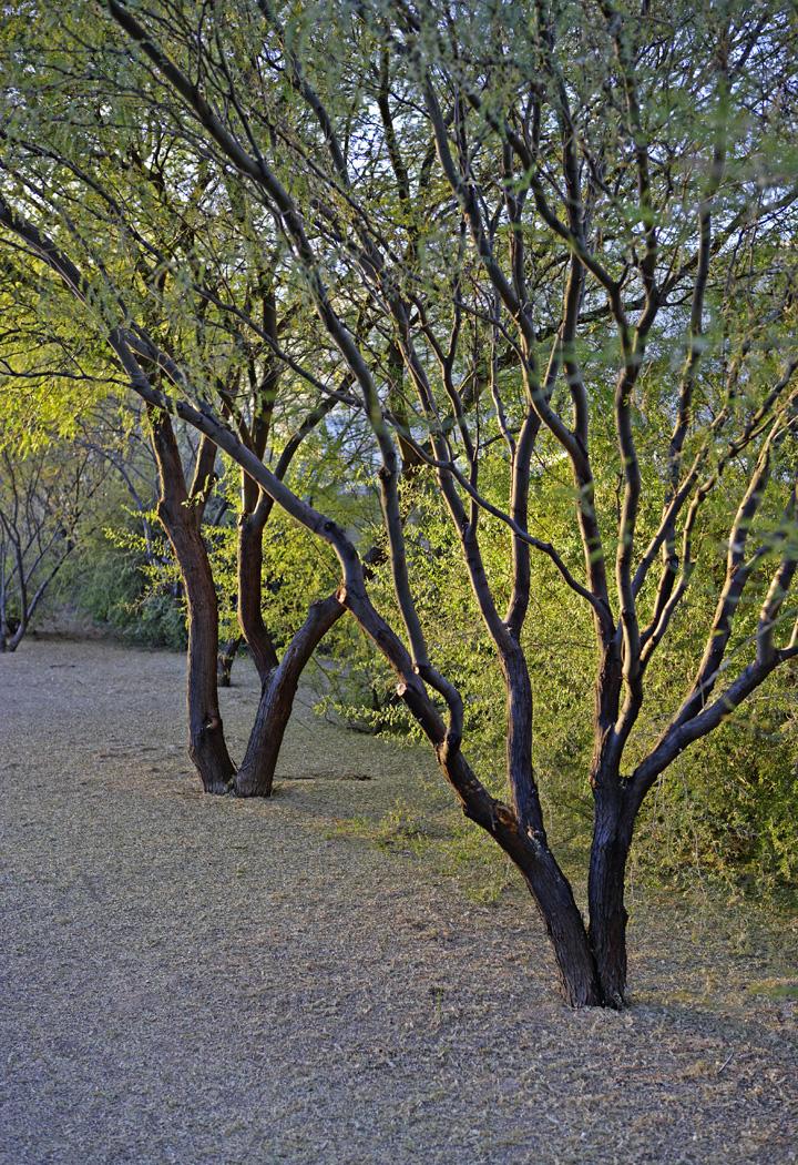 Tucson Jun 13, 2007 Don Garrett Backlit trees in Tucson