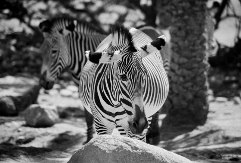 Phoenix Zoo May 28, 2008 Envisionz Stripes