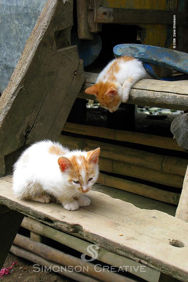 Samar, Philippines Oct 28, 2008 Copyright 2008 Dave Simonson Chillin Kitten Under a FlipFlop