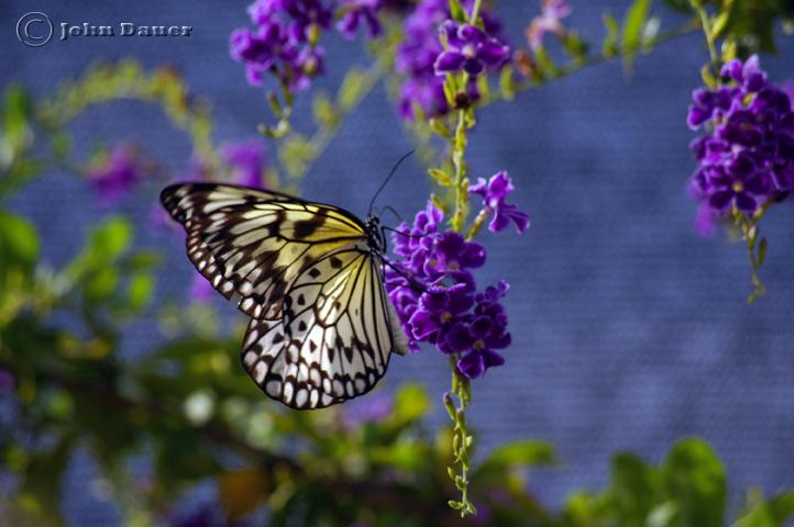 Jul 26, 2009 (C) John Dauer Butterfly n purple...