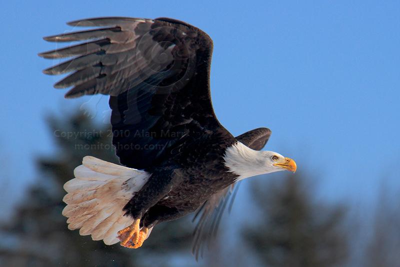 Nova Scotia Feb 06, 2010 2010 Alan Marr (monitophoto.com) Bald Eagle