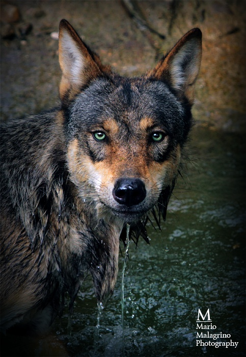 Mar 02, 2011 by Mario Malagrino Wolf....cold eyes