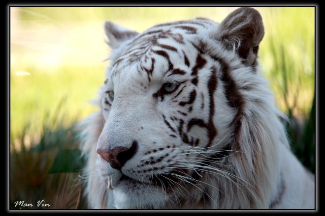 Zoo of Amneville, France Jun 28, 2011 Man Vin White Tiger