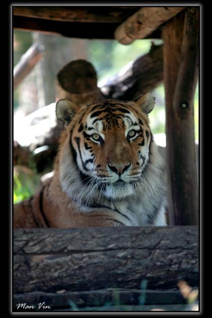 Zoo of Amneville, France Jun 28, 2011 Man Vin Siberian Tiger