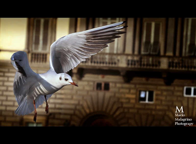 Aug 21, 2011 Mario malagrino Majestic Wings