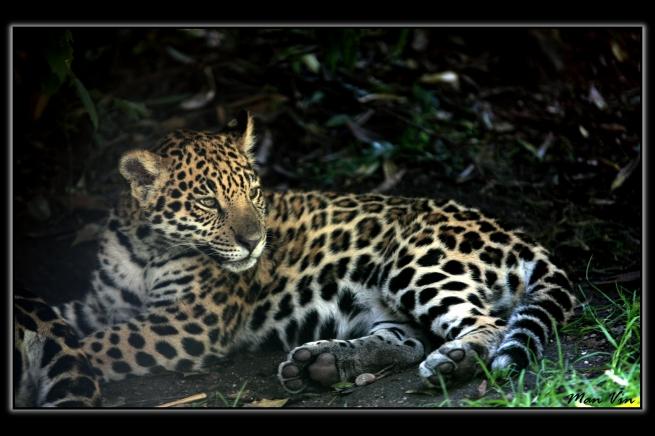 Zoo of Amneville, France Oct 10, 2011 Man Vin Jaguar baby in the shadow....